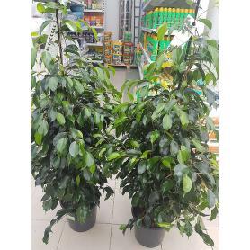 Ficus benj. Danielle – Fíkus benjamina