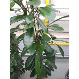 Ficus cyathistipula – Fíkus