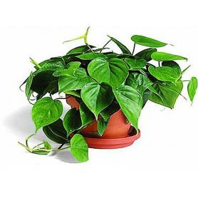 Philodendron scandens – Filodendron