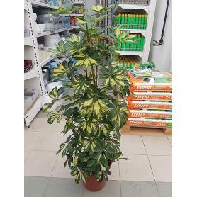 Schefflera arboricola Gold Capella – Šeflera