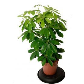 Schefflera arboricola Nora – Šeflera