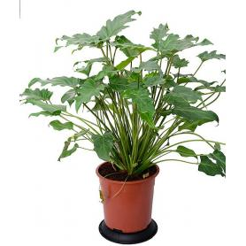 Philodendron Xanadu – Filodendron