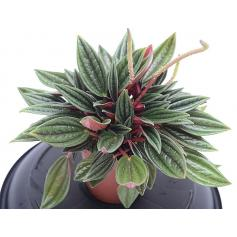 Peperomia Rosso – Pepřinec