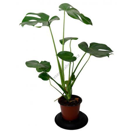 Monstera deliciosa – Philodendron pertusum