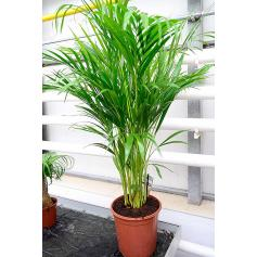Chrysalidocarpus – Chrysalidokarpus