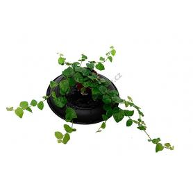 Ficus pumila – Fíkus droboučký