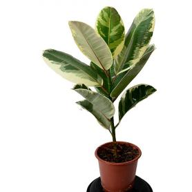 Ficus el.Tineke – Gumovník