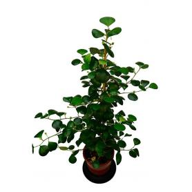 Ficus deltoidea – Fíkus