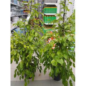 Ficus benj.mix – Fíkus benjamina světle zelený
