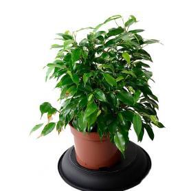 Ficus benj.Green Kinky – Fíkus bejamina, malolistý
