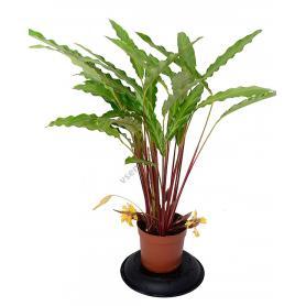 Calathea rufibarba – Kalathea