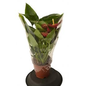Anthurium Success Red – Toulitka