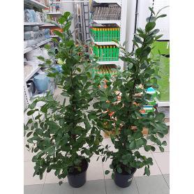 Ficus microcarpa Moclame – Gumovník